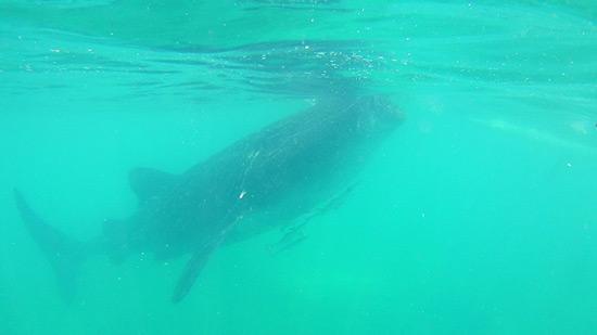 Balina Köpekbalıkları