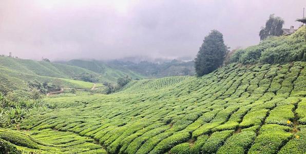 cameron highlands çay tarlaları