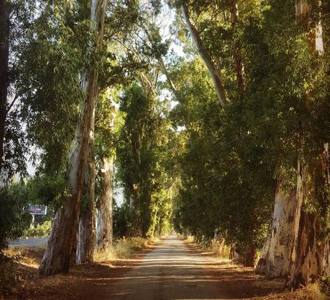 okaliptus yolu